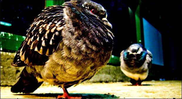 Tiens, un pigeon